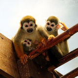 Monkey family. Is sitting in the sun stock photos
