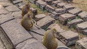 Monkey family in angkor wat stock photos