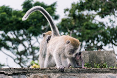Monkey family. Animal mammal nature wildlife outdoor monkeys forest leaves being warm care takecare Royalty Free Stock Images