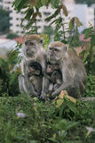 Monkey family. Animal mammal nature wildlife outdoor monkeys forest leaves being warm care takecare baby embrace look Royalty Free Stock Image