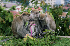 Monkey family. Animal mammal nature wildlife outdoor monkeys forest leaves being warm care takecare baby embrace look Royalty Free Stock Images