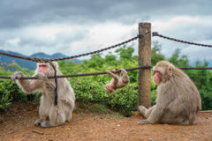 Monkey family in Arashiyama mountain, kyoto Stock Photo