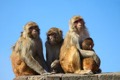 Monkey family with a baby. Monkey family on blue sky background. Mother monkey embracing her baby. Family of four monkeys. Rhesus Macaque monkey Macaca mulatta stock image
