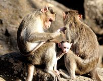 Monkey Family Royalty Free Stock Photo