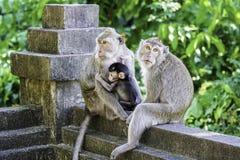 Monkey Family in Bali Stock Image