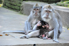 Monkey family in Bali Sacred Monkey Forest Temple Stock Photography