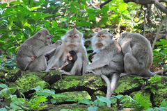 Monkey family in Bali Sacred Monkey Forest Temple Stock Image
