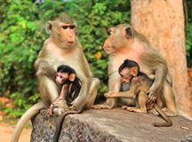 Monkey family in Cambodia stock photos
