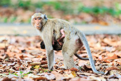 Monkey family (Crab-eating macaque) on dry leaves Royalty Free Stock Photography