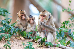 Monkey family (Crab-eating macaque) Royalty Free Stock Images