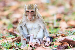Monkey family (Crab-eating macaque) Royalty Free Stock Photos