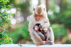 Monkey family (Crab-eating macaque) Stock Photo