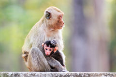 Monkey family (Crab-eating macaque) Stock Images