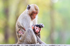 Monkey family (Crab-eating macaque) Stock Image