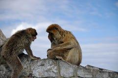 Monkey family disharmony. Gibraltar Royalty Free Stock Photo
