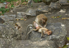 Monkey family, father or mother and child. Stock Images