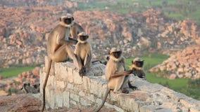 Monkey family in Hampi stock video