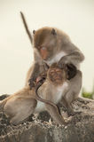 Monkey family . Stock Photography