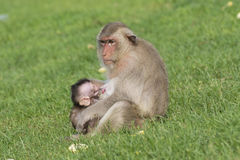 Monkey family live in city. With human in Loburi city,Thailand stock photos
