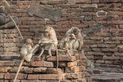 The monkey family live in old city. The monkey live in old city with human in Lopburi city,Thailand royalty free stock photos