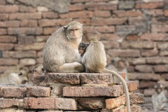 The monkey family live in the old city. In Loburi city, Thailand stock photos