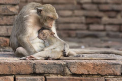 The monkey family live in the old city. Thailand stock photos