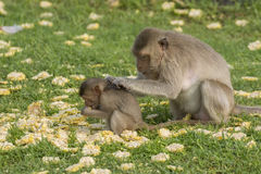 The monkey family live in the old city. Thailand stock photo
