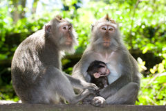 Monkey family - long tailed macaques stock image