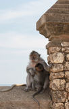 Monkey family. Mother and baby Royalty Free Stock Image