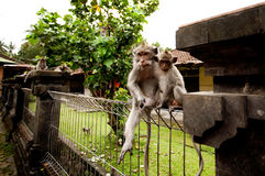 Monkey family, mother with baby, sitting on a fence, in Sacred M Royalty Free Stock Image