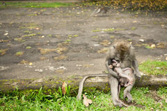 Monkey family, mother with baby Stock Photo