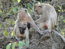 Monkey Family. Mother monkey feeding her baby and father monkey grooming for his wife Royalty Free Stock Photo