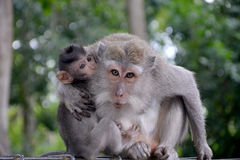 Monkey family. Mother protecting her baby Stock Photography