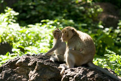 Monkey family Royalty Free Stock Images