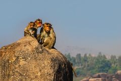 Monkey family in the mountain Royalty Free Stock Images
