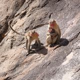 Monkey family in the mountain Royalty Free Stock Photography