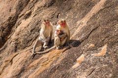 Monkey family in the mountain Stock Image