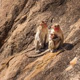 Monkey family in the mountain Stock Images