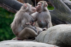Monkey family pet their baby Stock Image