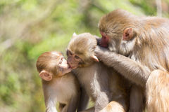 Monkey Family Photo Stock Photos