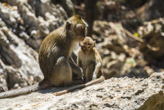 Monkey family relaxing on stones Royalty Free Stock Photos