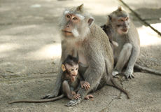 Monkey family in the Sacred Forest Sanctuary, Bali, Indonesia Stock Photos
