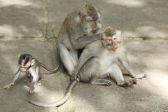 Monkey family in the Sacred Forest Sanctuary, Bali, Indonesia Stock Photo