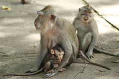 Monkey family in the Sacred Forest Sanctuary, Bali, Indonesia Royalty Free Stock Images