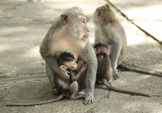 Monkey family in the Sacred Forest Sanctuary, Bali, Indonesia Stock Image