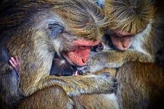 Monkey family. Showing the feelings of animal kingdom Royalty Free Stock Image