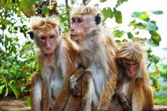 Monkey family at Sigiriya, Sri Lanka. Monkey family from three animals at Sigiriya, Sri Lanka Royalty Free Stock Photos