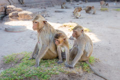 Monkey family sitting in Phra Prang Sam Yot temple, ancient architecture in Lopburi, Thailand. Select focus Stock Photography
