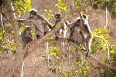 Monkey family sitting on tree resting ( Presbytis obscura reid). Stock Photo