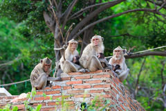 Monkey family is sitting on the wall Royalty Free Stock Photos